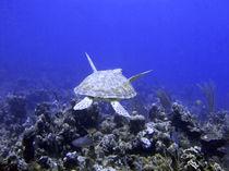 Green-turtle-swimming-1