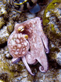 Octopus on the Rocks von serenityphotography