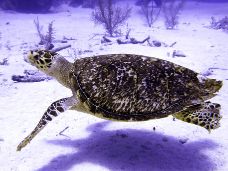 Swimming-hawksbill-turtle-5
