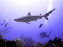 Swimming Caribbean Reef Shark von serenityphotography