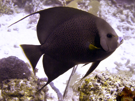 Black-angelfish-from-side