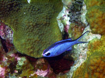 Blue Chromis Above Hard Coral von serenityphotography
