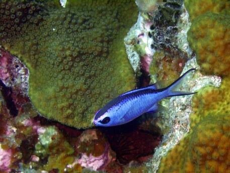 Blue-chromis-above-hard-coral
