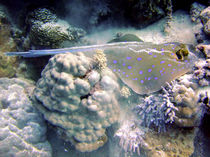 Blue Spotted Ray Feeding von serenityphotography