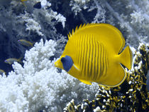 Butterfly Fish Over Fire Coral von serenityphotography