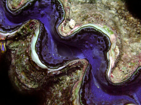 Blue-clam-with-nudie-branch