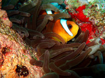 Clownfish in Hiding by serenityphotography