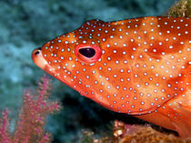 Coral Cod's Head by serenityphotography