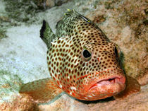 Coral Grouper Being Cleaned by serenityphotography