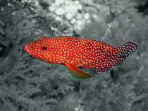 Red Coral Cod by serenityphotography