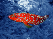Coral-trout-colour