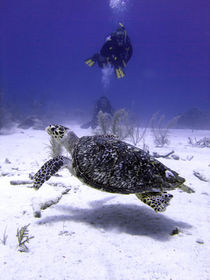 Divers Watching Hawksbill Turtle by serenityphotography