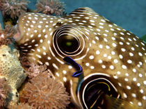 Stars and Stripes Pufferfish Being Cleaned von serenityphotography