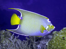Queen Angelfish From Side von serenityphotography