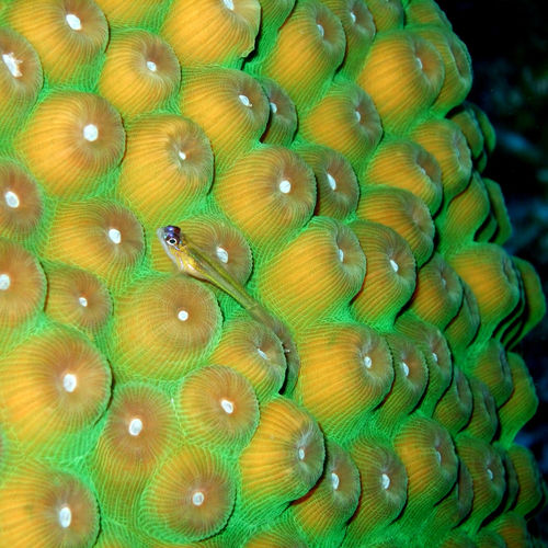 Small-wrasse-on-hard-coral-1