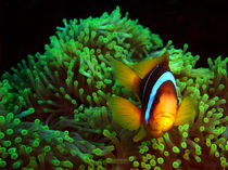 Anemone Fish in Green Anemone von serenityphotography
