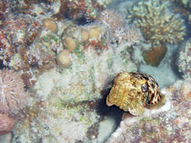 Baby-cuttlefish-and-hard-coral-02