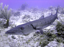 Barracuda von serenityphotography