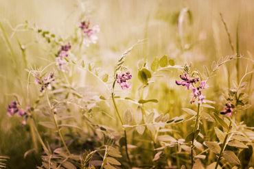 Sommerwiese-summer-meadow