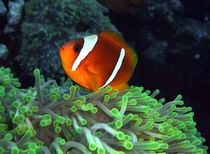 Anemone Fish in Anemone by serenityphotography