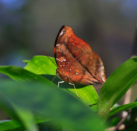 Autumn-leaf-butterfly1097