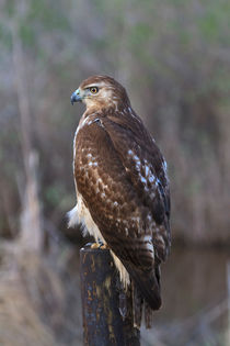 Red Tailed Hawk von Louise Heusinkveld