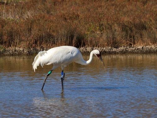Whooping-crane1012