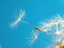 Pusteblume (dandelion) von Dagmar Laimgruber