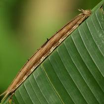 Schmetterlinge: Raupe des Bananenfalters (Owl Worm)