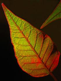 Euphorbia Blatt (poinsettia) by Dagmar Laimgruber