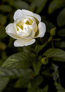 White Rose by markowmedia