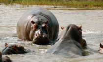 Hippo Herd by bibi-photo-hunter