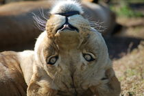 Lioness Look by bibi-photo-hunter