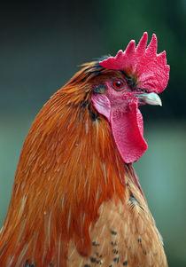Stolzer Hahn (cock) von Dagmar Laimgruber