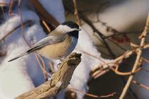 Chickadee-brox
