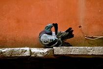 Pruning Pigeon Original by bibi-photo-hunter