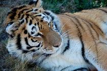 Tigress by bibi-photo-hunter