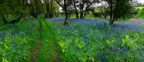 Bluebell Wood by Nigel Forster