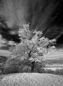 Cpw5519-snowy-tree