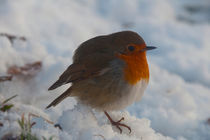 Robin in Snow by Nigel Forster