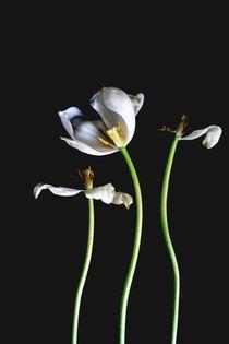dancing tulips von artisciocca