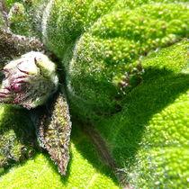Salvia by blumenliebhaberin