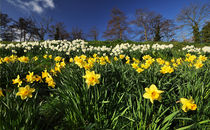 Welsh Daffodils by Nigel Forster