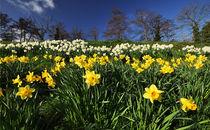 Welsh Daffodils von Nigel Forster