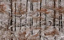 Winter Larch von Nigel Forster