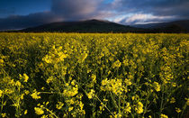 Yellow Field at Table Mountain by Nigel Forster