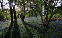 Llanbedr Bluebells by Nigel Forster