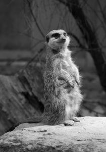 Meerkat/ Erdmännchen von Sebastian Luedke