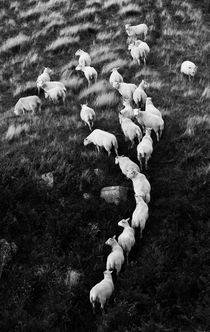 Line of Sheep by Nigel Forster