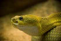 Rattle Snake by Sebastian Luedke